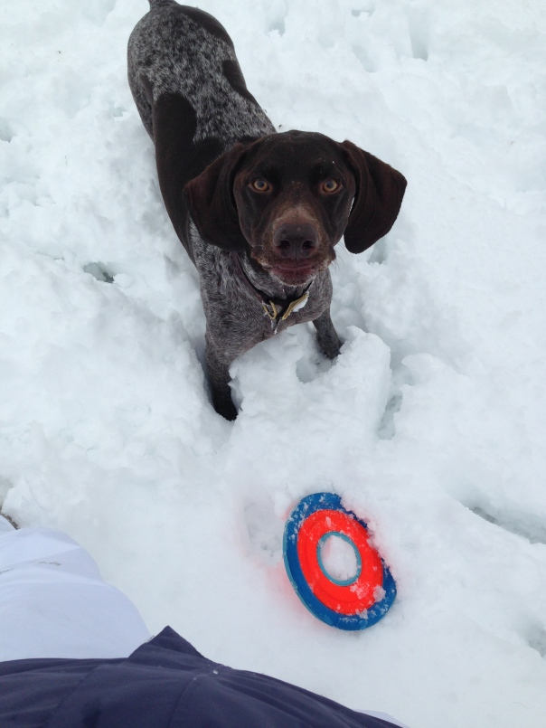 frisbee german shorthaired pointer